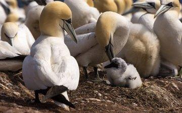 chick, birds, beak, feathers, gannet, the northern gannet