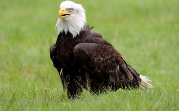 grass, bird, beak, bald eagle