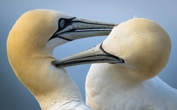 birds, bird, beak, gannet, the northern gannet