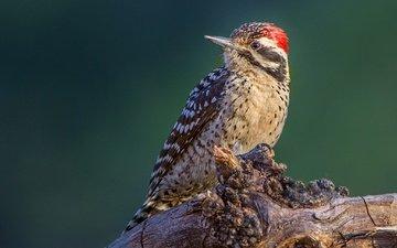 bird, beak, tail, woodpecker