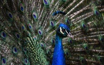 птица, клюв, павлин, перья, хвост, шея, оперение