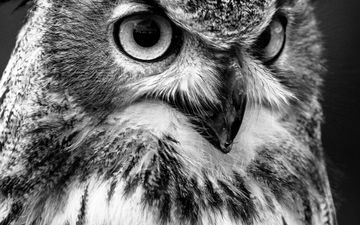 owl, black and white, bird, beak, feathers, closeup, bird of prey