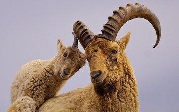 рога, тур, козел, козленок, горный козел
