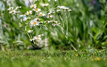 flowers, grass, petals, chamomile, white, wildflowers, bokeh