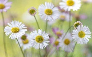 flowers, macro, petals, chamomile, stems, bokeh