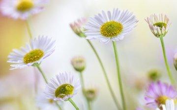 цветы, лето, лепестки, ромашки, стебли, боке, маргаритки