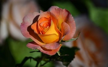 цветок, роза, лепестки, бутон, боке