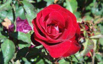 цветы, природа, цветение, листья, розы, лепестки, красные, куст