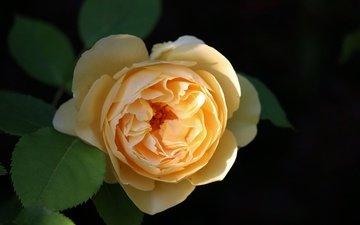 роза, желтая роза