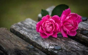 цветы, бутоны, макро, розы, лепестки, доски, скамейка