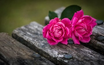 flowers, buds, macro, roses, petals, board, bench