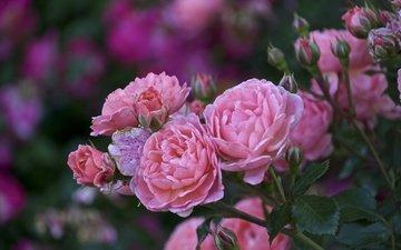 цветы, листья, розы, лепестки, размытость, розовые, куст