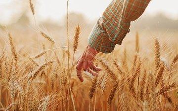 рука, настроение, лето, колосья, пшеница