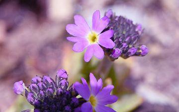 цветы, природа, цветок, лепестки, весна, растение, первоцвет, примула, крупным планом