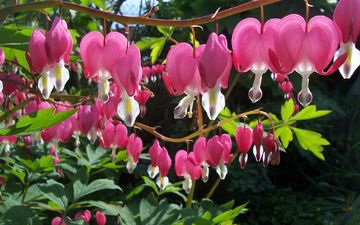 flowers, nature, flowering, garden, plant, the bleeding heart, broken heart