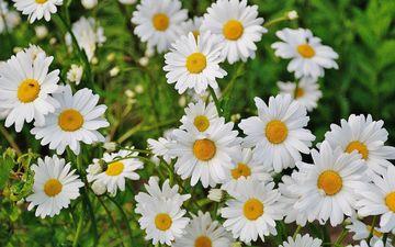 цветы, трава, лепестки, ромашки, белые, полевые цветы