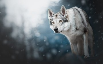 snow, forest, winter, background, look, dog, snowfall, wolf dog is a sarloos passed away, wolf dog
