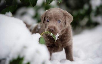 snow, leaves, muzzle, dog, puppy, labrador retriever