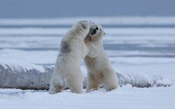 снег, природа, берег, полярный медведь, борьба, игра, медведи, белый медведь, драка, арктика, медвежата