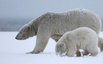 снег, природа, полярный медведь, медведи, белый медведь, детеныш, медвежонок, арктика, медведица