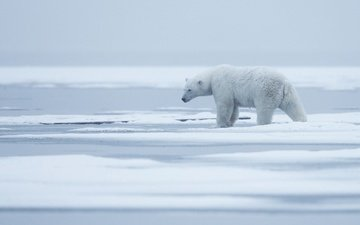 snow, nature, fog, polar bear, bear, ice, arctic