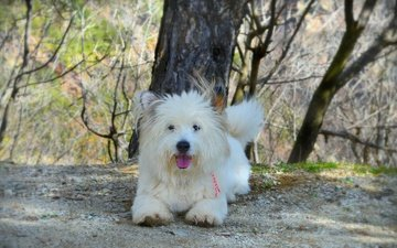 dog, the west highland white terrier