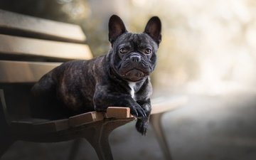 dog, each, bench, french bulldog
