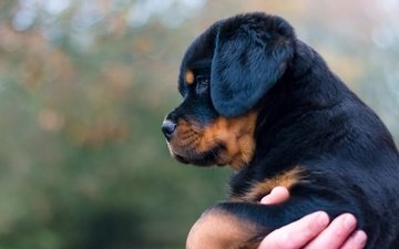 dog, puppy, profile, rottweiler