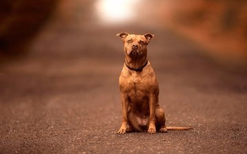 look, dog, each, collar, pit bull, american pit bull terrier