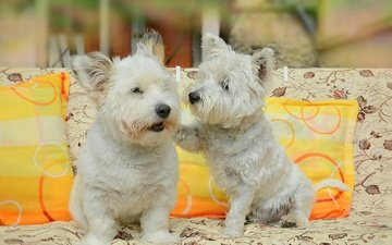 pillow, sofa, friends, dogs, the west highland white terrier
