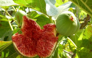 leaves, fruit, figs, fig, guys