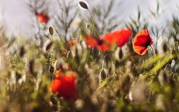 свет, цветы, бутоны, лепестки, красные, маки, размытость, луг