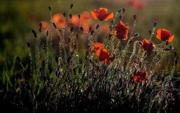 свет, цветы, природа, бутоны, лепестки, красные, маки, силуэты