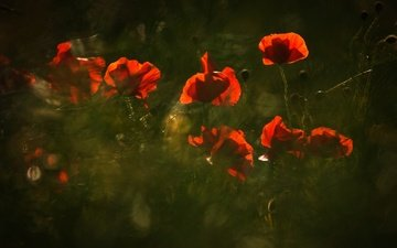 свет, цветы, природа, красные, маки, размытость, темный фон