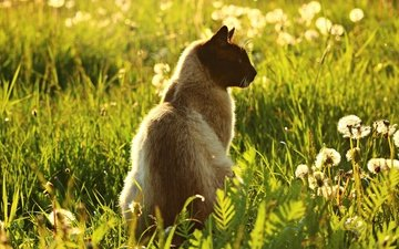 light, flowers, grass, nature, greens, cat, summer, glade, meadow, profile, sitting, dandelions, siamese
