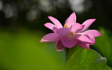 свет, фон, цветок, лепестки, лист, лотос, розовый