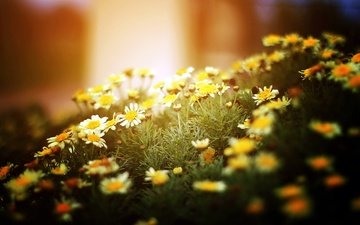 свет, цветы, природа, макро, ромашки, белые