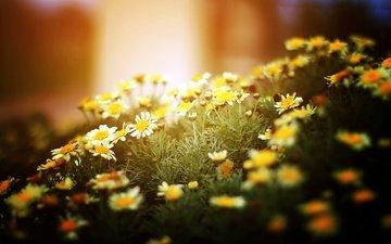 light, flowers, nature, macro, chamomile, white