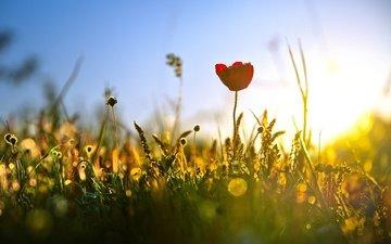 свет, трава, природа, лето, тюльпан, полевые цветы