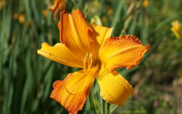 flowering, yellow, flower, petals, stamens, lily