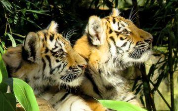мордочка, хищник, дикая кошка, тигрята, тигры