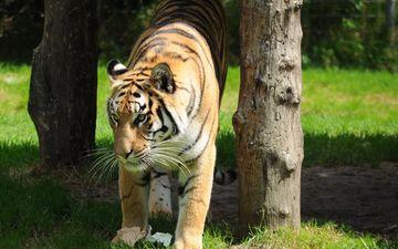 тигр, трава, деревья, хищник, дикая кошка