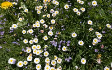 цветы, трава, лепестки, луг, ромашки, белые