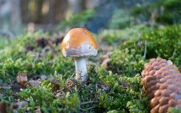 трава, природа, лес, гриб, мох, шишка, шляпка