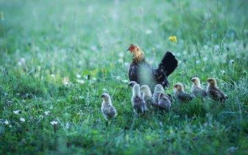 трава, лето, поляна, птицы, птенцы, курица, цыплята, семейство