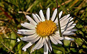 трава, макро, цветок, лепестки, ромашка
