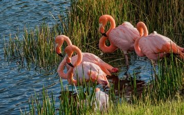 grass, lake, flamingo, pond, birds, thickets, pink flamingos