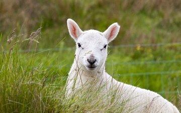 трава, пастбище, животное, овечка, овца