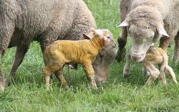 трава, поле, луг, рождение, бараны, домашний скот, баранина
