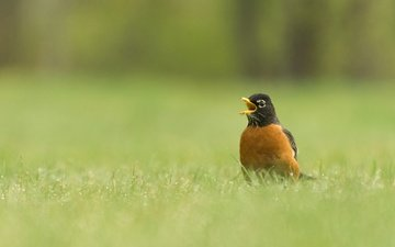 grass, nature, bird, beak, thrush, well, turdus migratorius
